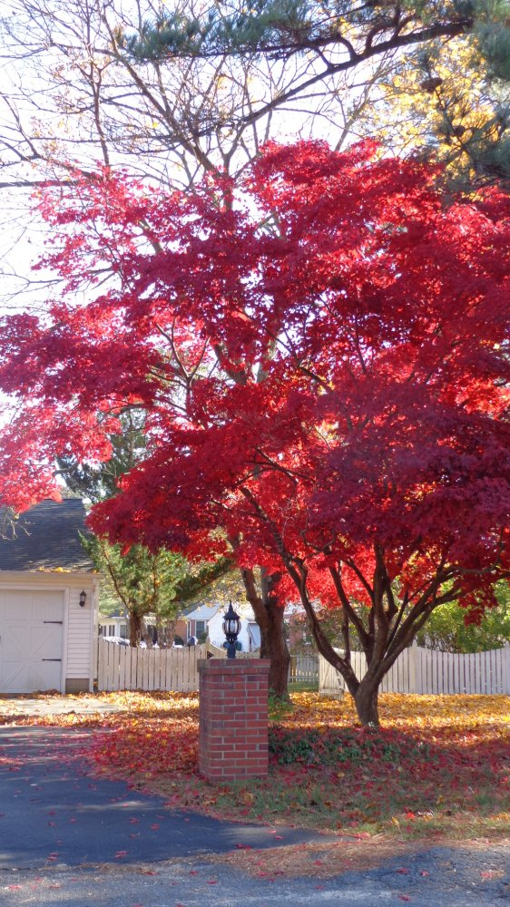 Maple tree on Shalavee.com