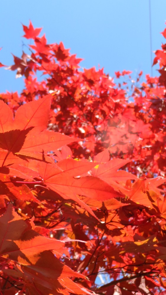 closer look at the maple tree on Shalavee.com
