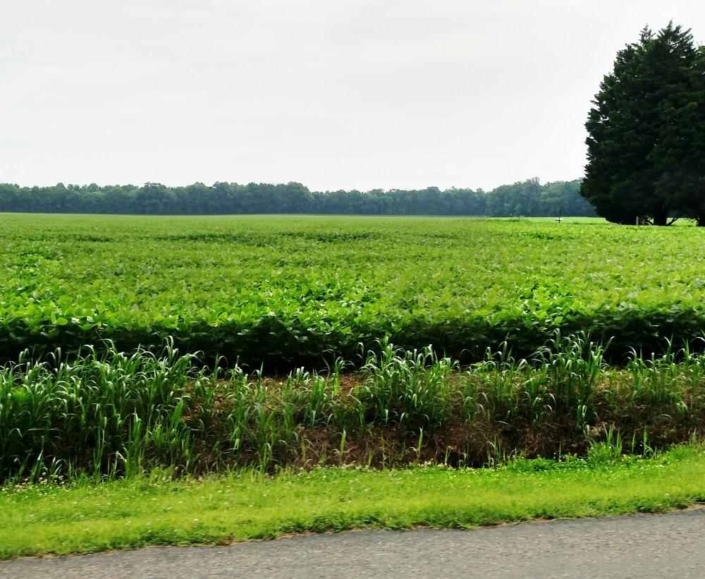 cornfield and tree on Shalavee.com