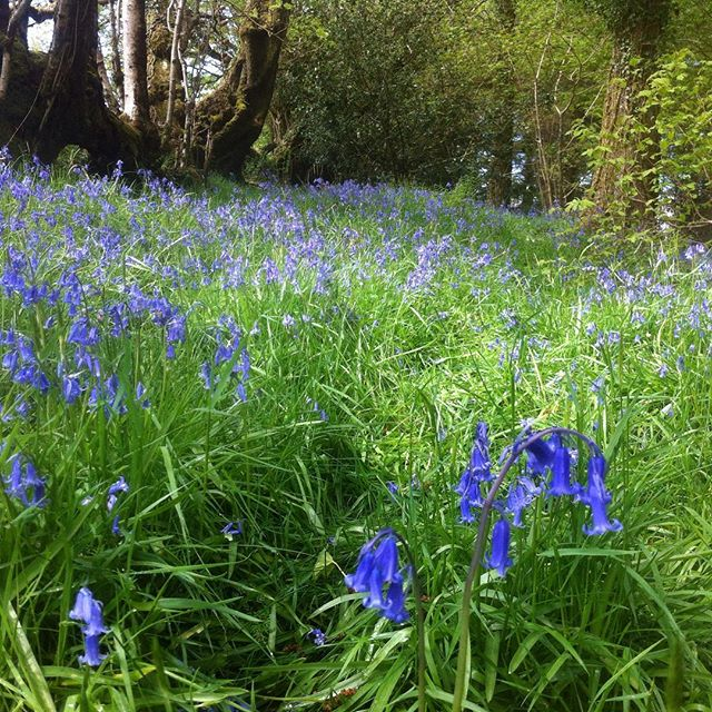 Kylie's bluebells on Shalavee.com