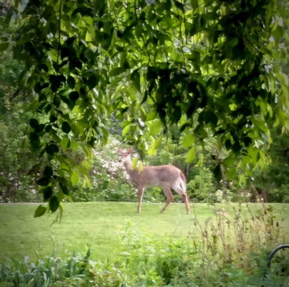 Deer in the backyard on Shalavee.com