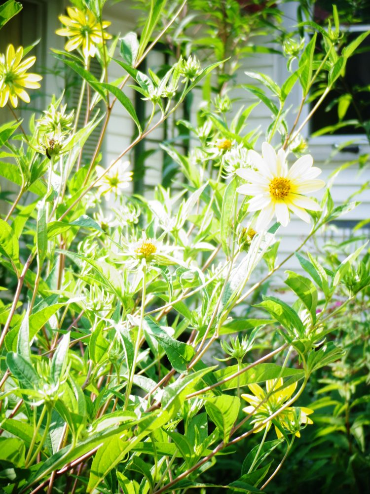 Thought weeds on Shalavee.com