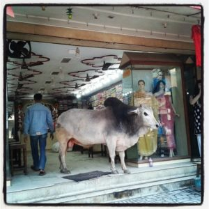 Cow-in-a-shop-in-banaras