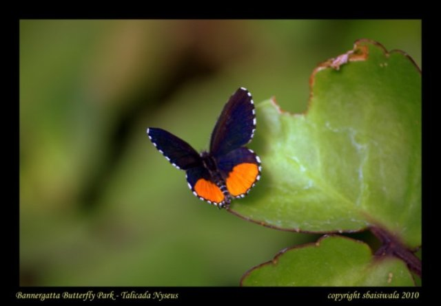 #fridayfiction-blue-butterfly-Talicada-Nyseus - in-bangalore-butterfly-park