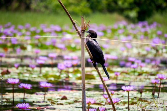 blie-waterlily-lake-pookote-pookode-kalpetta-wayanad-kerela-india-travel