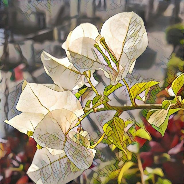 white-bougainvillea-flowers-aspire-eat-love-pray