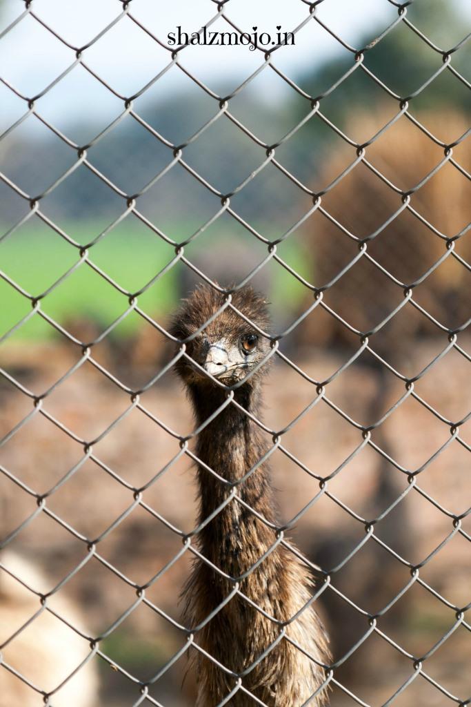 A2Z-BADGE-2017-blogging-challenge-theme-reveal-travel-stories-picture-speaks-louder-than-words-april-shalzmojosays- emu-farms-rewari-shekhawati-eggs-roadtrip