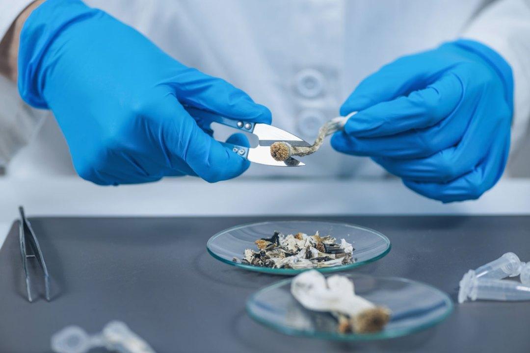 Psilocybe Cubensis Mushrooms