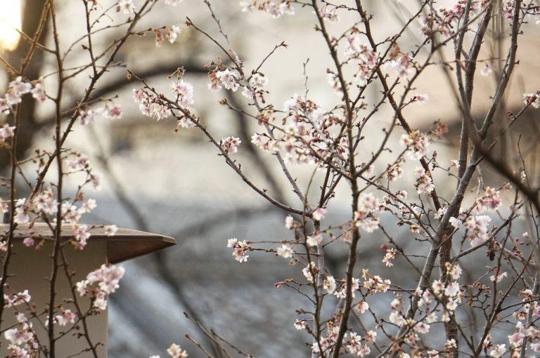 И внезапно там же, в двух шагах — стоит цветёт. Подхожу поближе, разглядываю цветы — характерно раздваиваются на концах, значит — сакура. Японский дедок сказал, что это 寒桜 — кандзакура, зимний сорт.