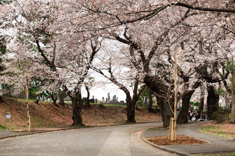 Прекрасные сакуры высажены вдоль широкой пешеходной дороги. Люди не толпятся, воздух свеж и чист.