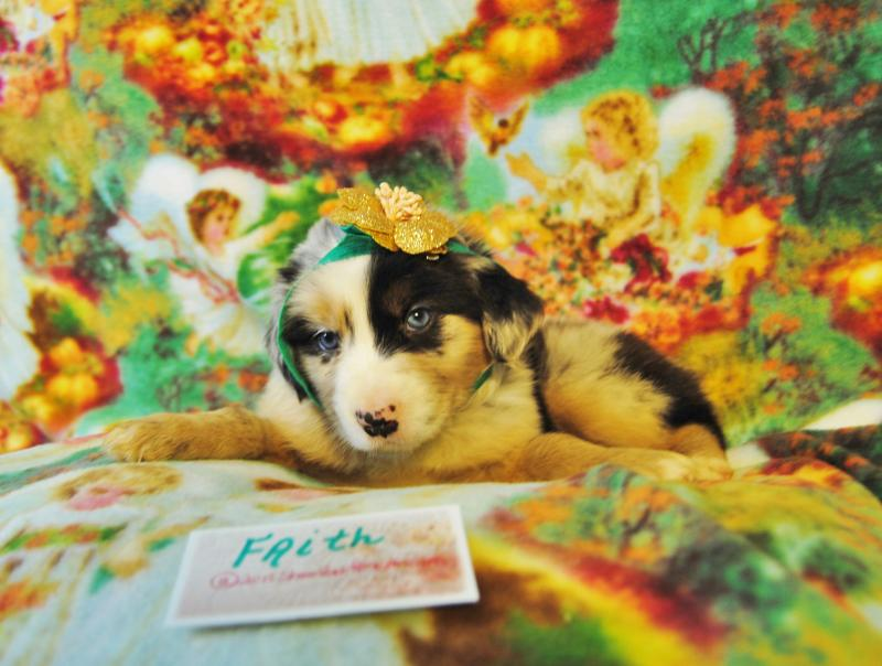 Shamrock Rose Aussies UPDATE NEW PICTURES ADDED OF AVAILABLE PUPPIES 62615 SCROLL DOWN TO