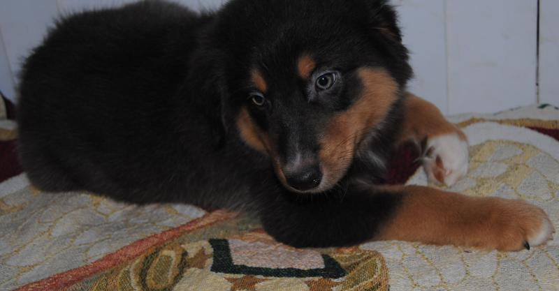 Shamrock Rose Aussies Exciting News Summer Litters Coming Expected 2nd Week In July Ready