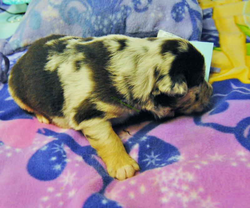 There are so many beautiful names for boys throughout all cultures and countries that it can be hard to narrow down your options. Shamrock Rose Aussies -  Welcome to Shamrock Rose