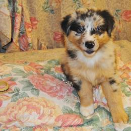Shamrock Rose Aussies Update We Have Puppies Born 5 3 16 Out Of Shamrock Rose Big Ed