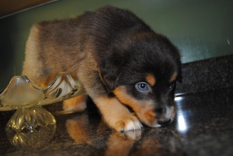 Shamrock Rose Aussies Scroll Down For Available Puppies