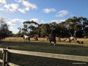 horses-phillip-island