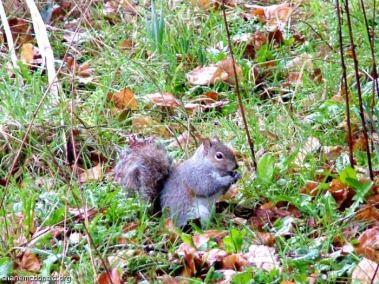 Grey Squirrel, Kilkenny, Ireland