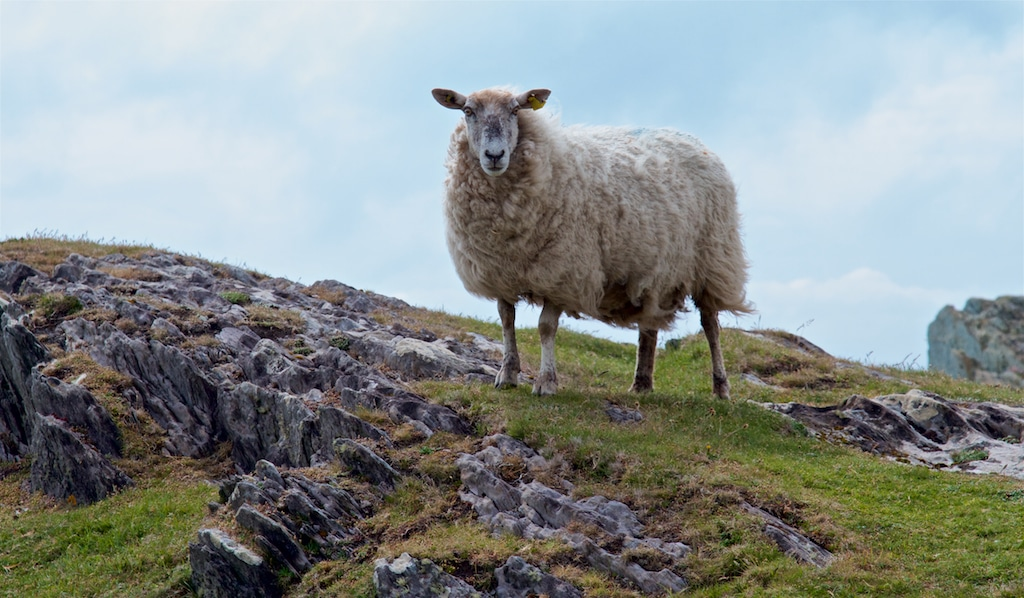 A Sheep from Ireland
