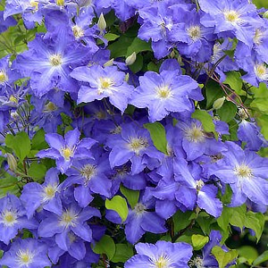 Clematis-Brother-Stefan-Shaner-Avenue-Nursery