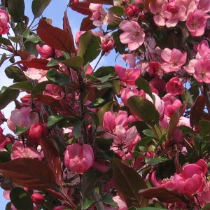 Crabapple-Gladiator-Shaner-Avenue-Nursery
