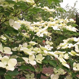 Dogwood-Venus-Shaner-Avenue-Nursery