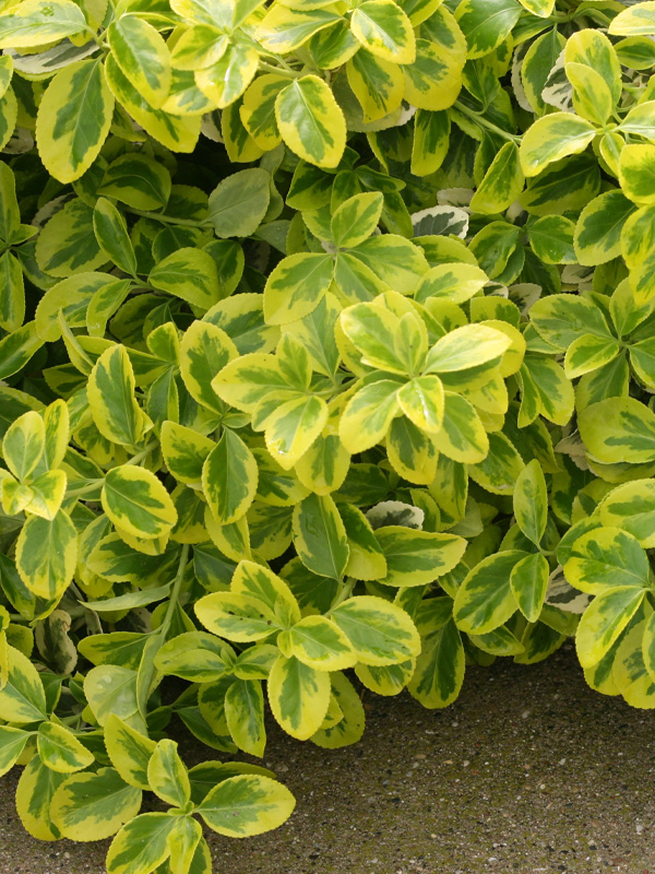 Euonymus-Shaner-Avenue-Nursery-Shop