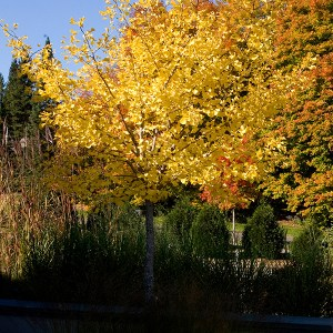 Ginkgo-Tree-Shaner-Avenue-Nursery