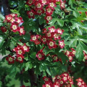 Hawthorn-Crimson-Cloud-Shaner-Avenue-Nursery