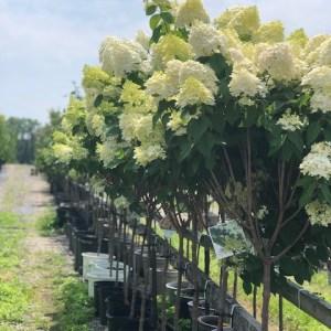Hydrangea-Limelight-Shaner-Avenue-Nursery