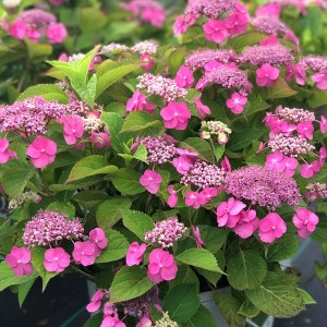 Hydrangea-Mountain-Shaner-Avenue-Nursery