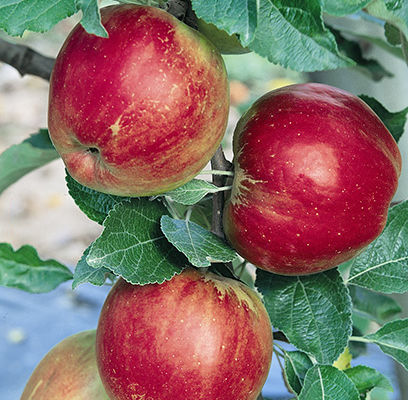 Apples-Johnathan-Shaner-Avenue-Nursery