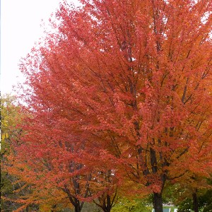 Maple-Tree-Shaner-Avenue-Nursery