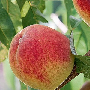 Peach-Red-Haven-Shaner-Avenue-Nursery