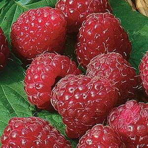Raspberry-Latham-Shaner-Avenue-Nursery