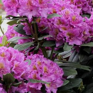 Rhododendron-Shaner-Avenue-Nursery-Shop