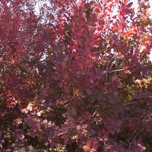 Smoke-Tree-Shaner-Avenue-Nursery