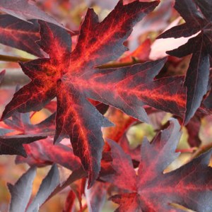 Sweetgum-Tree-Shaner-Avenue-Nursery