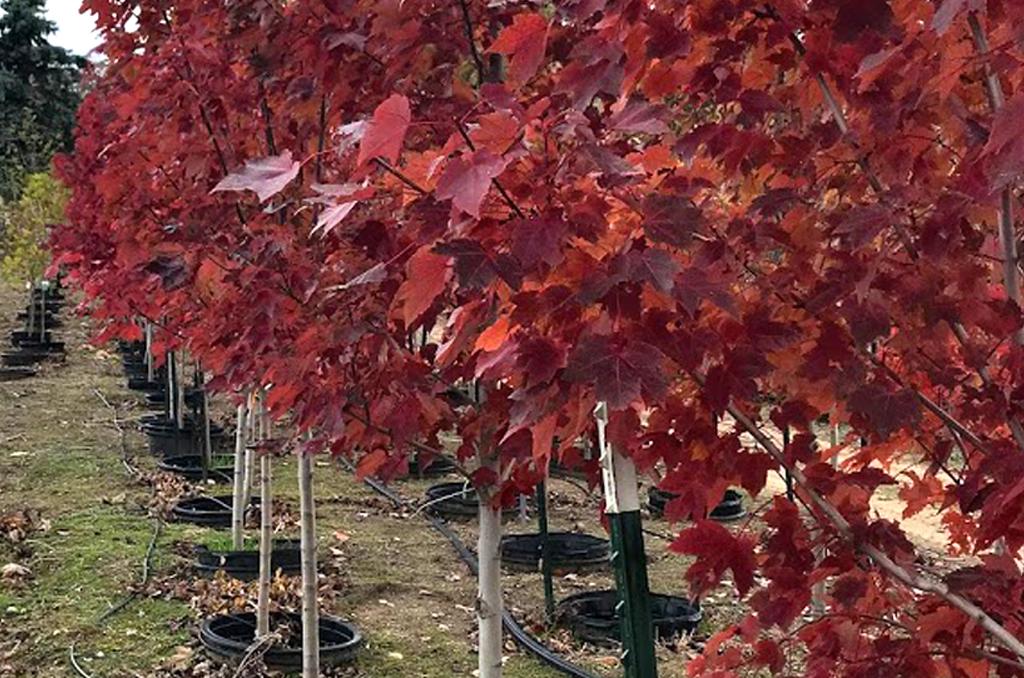 Trees-from-Shaner-Avenue-Nursery