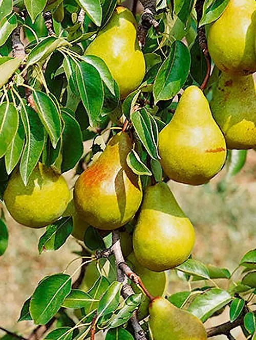Bartlett-Pear-Tree-Shaner-Avenue-Nursery