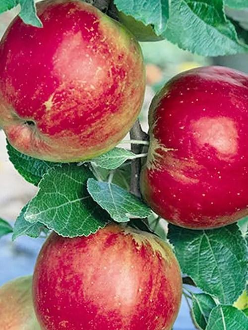 Jonathan-Apple-Tree-Shaner-Avenue-Nursery