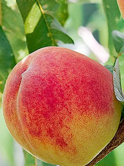 Red-Haven-Peach-Tree-Shaner-Avenue-Nursery