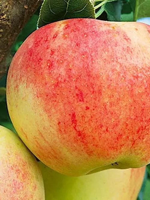 Royal-Gala-Apple-Tree-Shaner-Avenue-Nursery