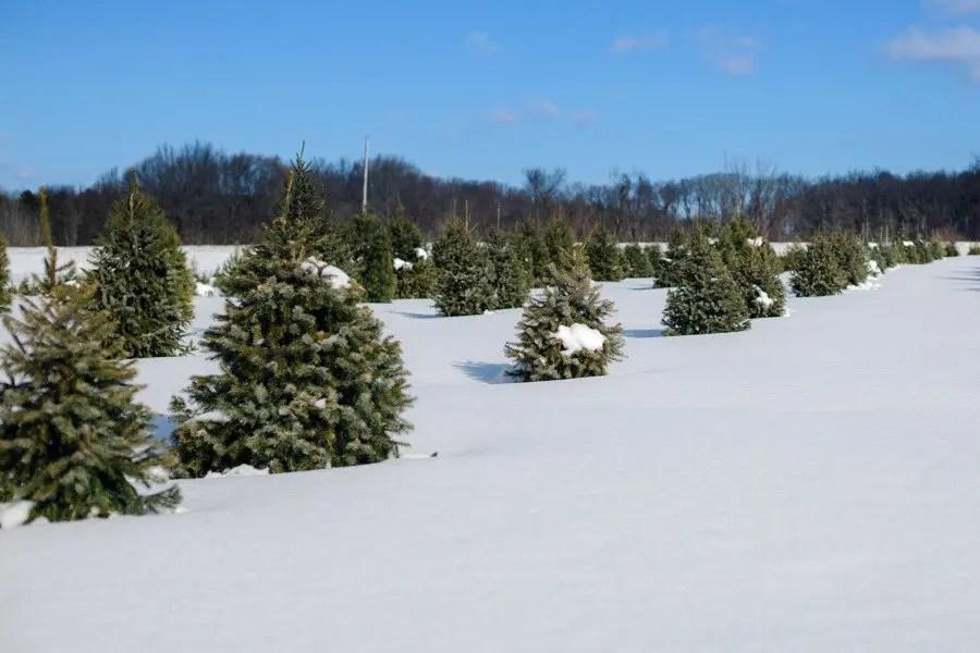 Shaner Avenue Nursery Winter Evergreen Trees