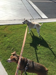 Dogs on leash