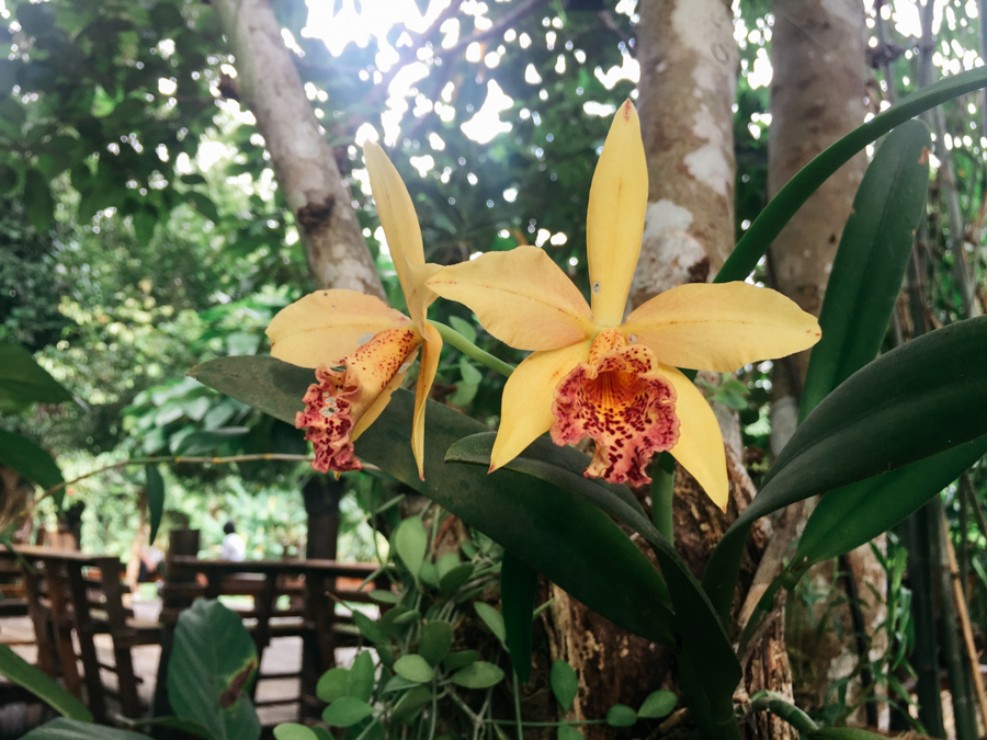 Yellow orchids in Thailand.