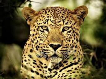 leopard, wild animals