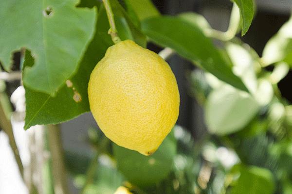 輸入レモンは安全?防カビ剤などの農薬に関する問題