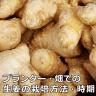 生姜の栽培方法と時期。畑とプランターどちらでもOK!