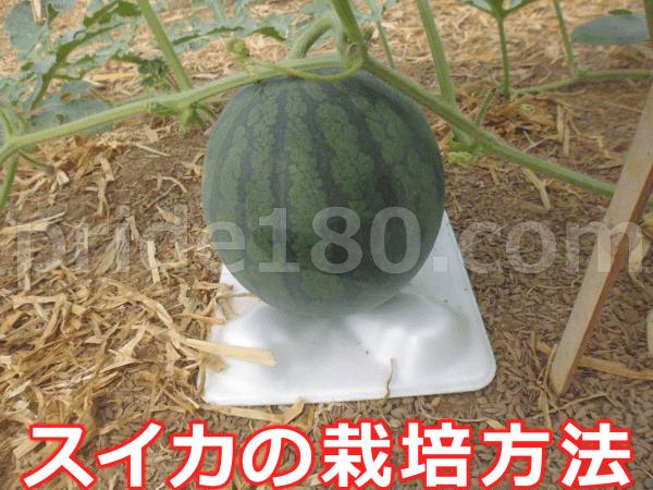 小玉スイカの栽培方法・時期。育て方のコツ。【初心者】