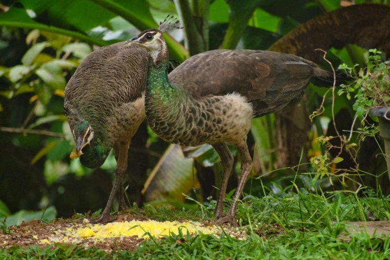 Indian Peafowl or Peacock at Sharanyam Homestay, Wayanad